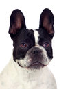 Beautiful french bulldog Stock Photo
