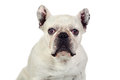 Beautiful french bulldog Stock Image