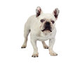 Beautiful french bulldog Royalty Free Stock Image