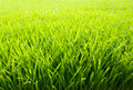 Beautiful and fresh grassland Royalty Free Stock Photo