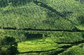 Beautiful fresh green tea gardens in munnar highland kerala indi india Royalty Free Stock Photo
