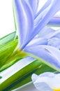 Beautiful fresh iris Royalty Free Stock Photo