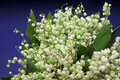 Beautiful fresh Lily-of-the-valley Stock Photography