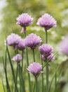 Beautiful fresh pink flowers on chives chive plants allium schoenoprasum growing in a cluster outdoors in the garden used as s Stock Images