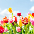 Beautiful fresh tulips in vibrant colours low angle closeup view of growing outdoors under a blue sky the spring sunshine Stock Photography