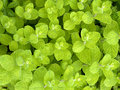 Beautiful fresh wild mint background Stock Image