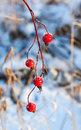 Beautiful frozen branch of rosehip berries on blue snow background found in winter forest christmas concept Royalty Free Stock Photo