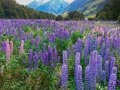 Beautiful full bloom lupine flower field with tropical jungle New Zealand summer Royalty Free Stock Photo