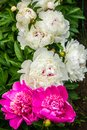 Beautiful garden of  peonies