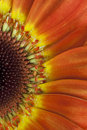 Beautiful gerbera flower, close up Stock Photography