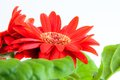 Beautiful gerbera flower isolated white background Royalty Free Stock Image