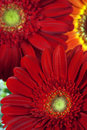 Beautiful gerbera flowers, close up Royalty Free Stock Images