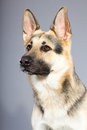 Beautiful german shepherd dog isolated Royalty Free Stock Photos