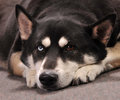 Beautiful german shepherd husky mix dog looking bored lying on floor Royalty Free Stock Image