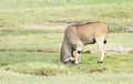 A beautiful giant eland antelope hitting the mud mound is largest entelope in world Stock Images