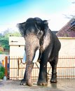 Beautiful giant indian elephant standing Stock Photos