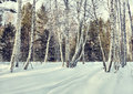 Beautiful glade in a winter birch forest Royalty Free Stock Photo
