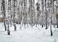 Beautiful glade in a winter birch wood Royalty Free Stock Photo