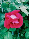 The enchanted glowing pink rose!