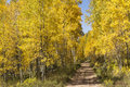 Beautiful golden aspen lined mountain road near vail colorado these trees line a scenic Royalty Free Stock Image