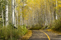 Beautiful golden aspen tree lined path near vail colorado this in cannot have been better in these fall colors Stock Photo