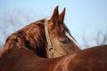 Beautiful golden horse portrait looking back