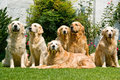 Beautiful Golden Retrievers in garden Stock Photos