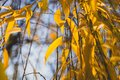 beautiful autumn willow tree leaves palette colours Royalty Free Stock Photo