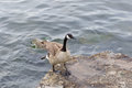 Beautiful goose is going on the rock canada near water Royalty Free Stock Photos