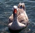 Beautiful goose sitting on lake Stock Image