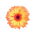 beautiful gorgeous gerbera flower isolated on white Royalty Free Stock Photo