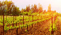 Beautiful grape valley bright sunset agricultural landscape autumn nature harvest season ripe juicy fruits vineyard vine Royalty Free Stock Photography