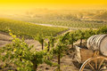 Beautiful Grape Vineyard with Old Barrel Carriage Royalty Free Stock Photo