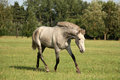 Beautiful gray andalusian colt (young horse) trotting free Royalty Free Stock Photo