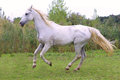 Beautiful gray arabian mare galloping on pasture Royalty Free Stock Photo
