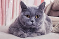Beautiful gray british cat lying on a sofa Royalty Free Stock Image