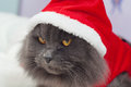 Beautiful gray cat with a santa suit christmas clothes portrait Royalty Free Stock Image