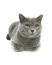 Beautiful gray cat with yellow eyes isolated on a white backgrou Royalty Free Stock Photo