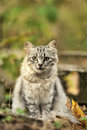 Beautiful gray fluffy cat in nature Royalty Free Stock Photo