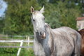 Beautiful gray horse portrait in paddock in summer Stock Photos