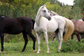 Beautiful gray mare standing on pasture rural scene Royalty Free Stock Photo