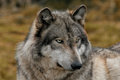 A beautiful gray wolf portrait Stock Images
