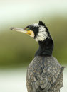 Beautiful Great cormorant turning its head Royalty Free Stock Photo