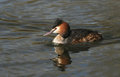 A beautiful Great crested Grebe Podiceps cristatus swimming in a stream with its reflection showing in the water. Royalty Free Stock Photo