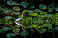 A beautiful great white egret among lotus water lilies with reflection ardea alba out hunting for meal at acre lake at brazos bend Royalty Free Stock Image
