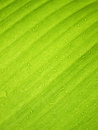 Beautiful Green Banana Leaf with Water Drops Royalty Free Stock Photo