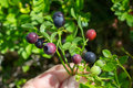 Beautiful green Bush blueberries beginning to ripen berries growing Royalty Free Stock Photo