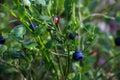 Beautiful green Bush blueberries beginning to ripen berries growing Royalty Free Stock Photo