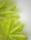 Beautiful green chestnut leaves. Background, Leaves pattern