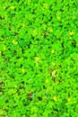 Beautiful Green field of Pinto Peanut Arachis pintoi Royalty Free Stock Photo